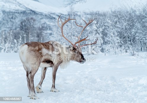 Reindeer standing in snowcovered lapland wilderness of Troms County, Norway