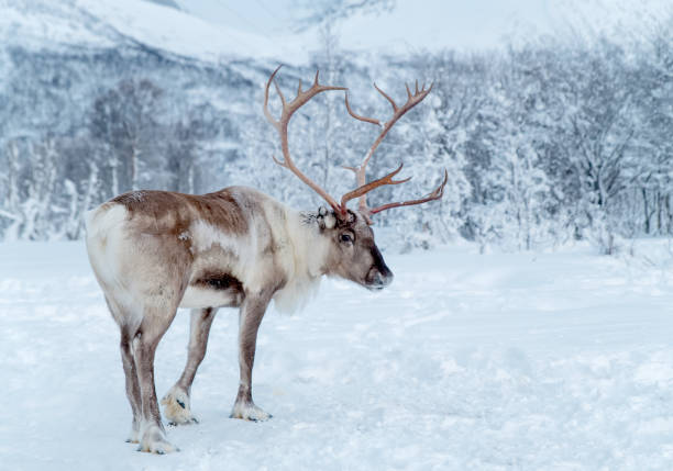 Reindeer standing in snowcovered wilderness of Troms County, Norway stock photo