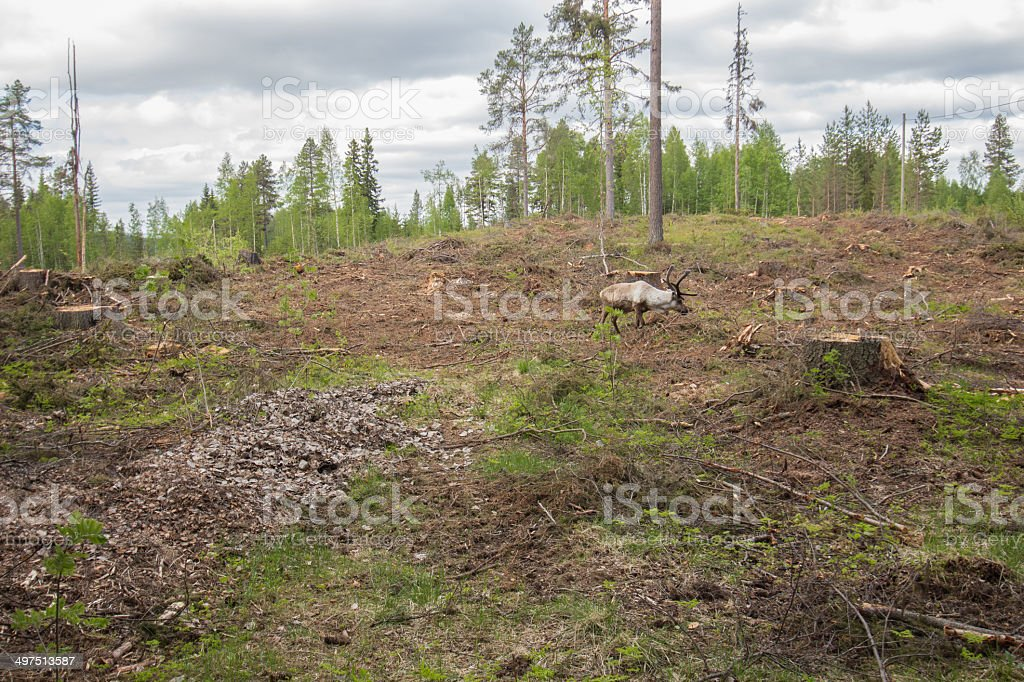 Reindeer staying in a deforestation area royalty-free stock photo