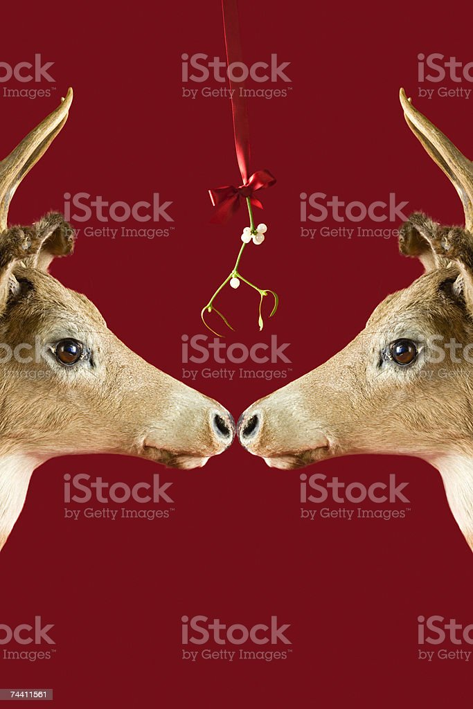 Reindeer underneath mistletoe stock photo