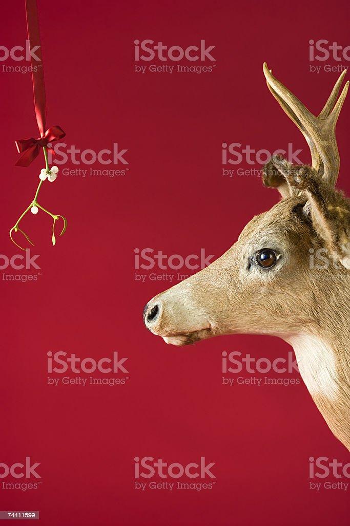 A reindeer underneath mistletoe stock photo