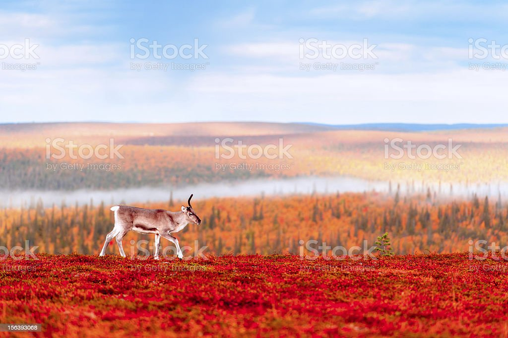Reindeer up in the Hills stock photo