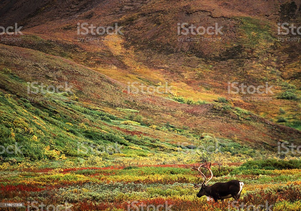 Reindeer walking in scenic multicolored grassy hills stock photo