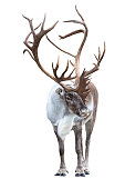 Reindeer with huge antlers  isolated on the white background