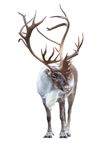 Reindeer with huge antlers  isolated on the white background stock photo