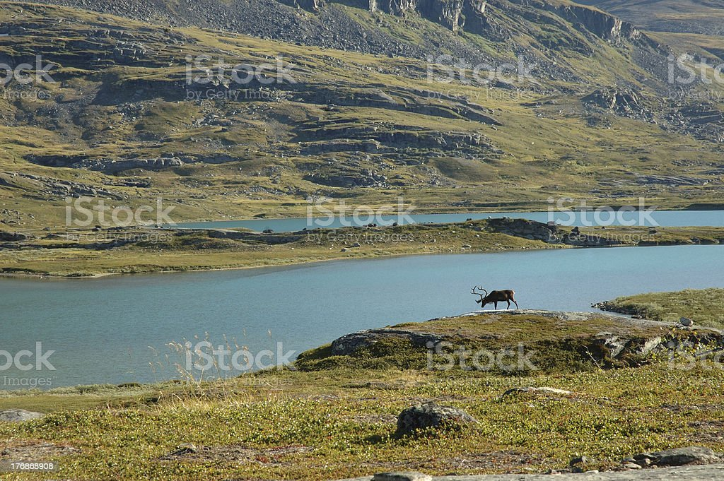 Reindeer with Landscape royalty-free stock photo