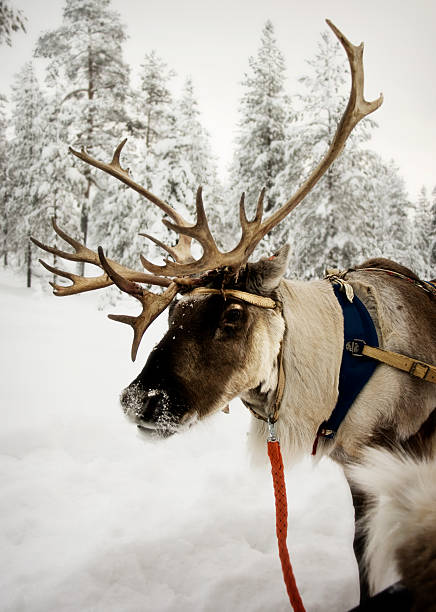 Reindeer with red leash in the snow stock photo
