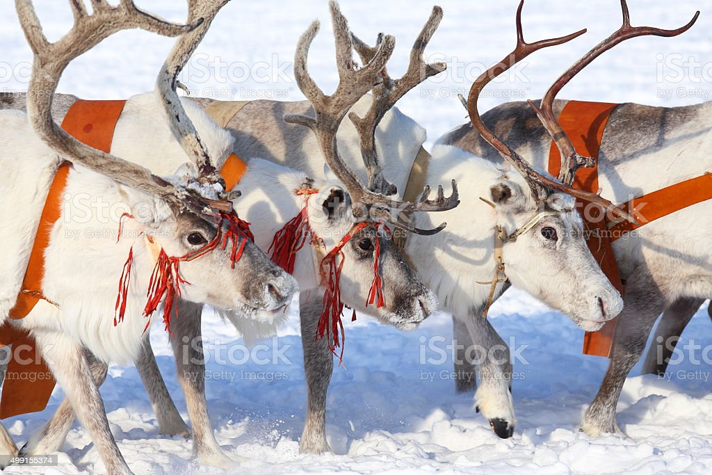Reindeers close up stock photo