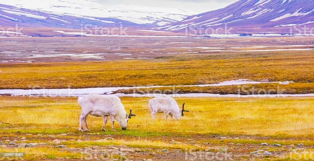 Reindeers eats grass at the plains of Svalbard stock photo