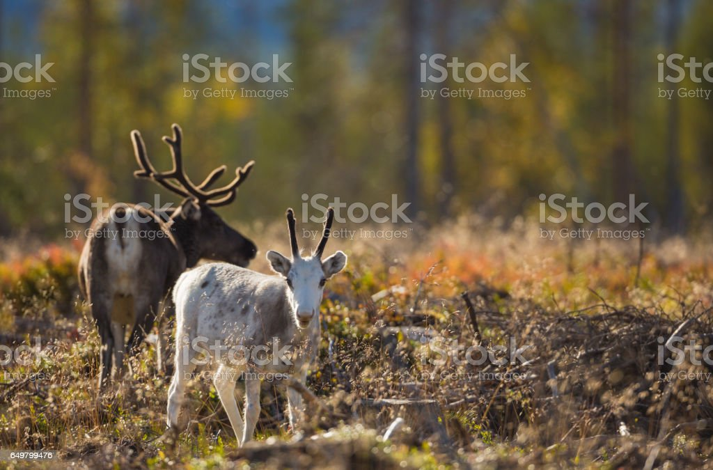 Reindeers in autumn season stock photo