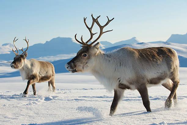 reindeers in natural environment, tromso region, northern norway. - rendier stockfoto's en -beelden