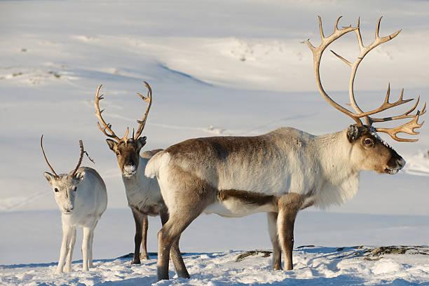 Reindeers in natural environment, Tromso region, Northern Norway. stock photo