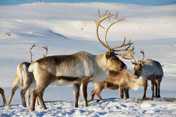 rendieren in natuurlijke omgeving, tromsø regio, noord-noorwegen - rendier stockfoto's en -beelden