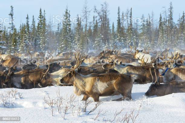 Reindeers migrate for a best grazing in the tundra nearby of polar picture id666315412?b=1&k=6&m=666315412&s=612x612&h=dvwuxlvffp6iky2ksojqjpo2b xefieksgwvpak5xzy=