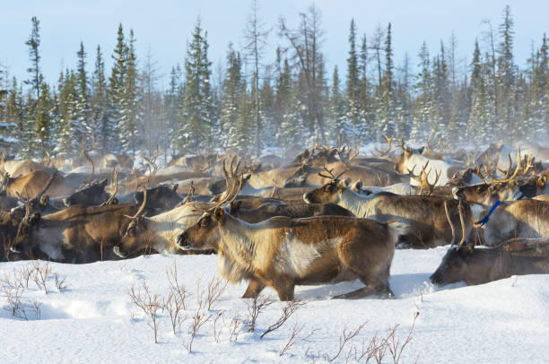 Reindeers migrate for a best grazing in the tundra nearby of polar circle in a cold winter day. - foto de stock