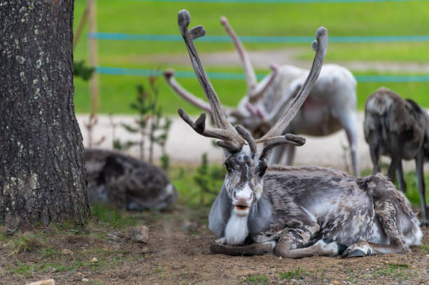 Reindeers pasturing in wild have been accustomed to people and human settlements. stock photo