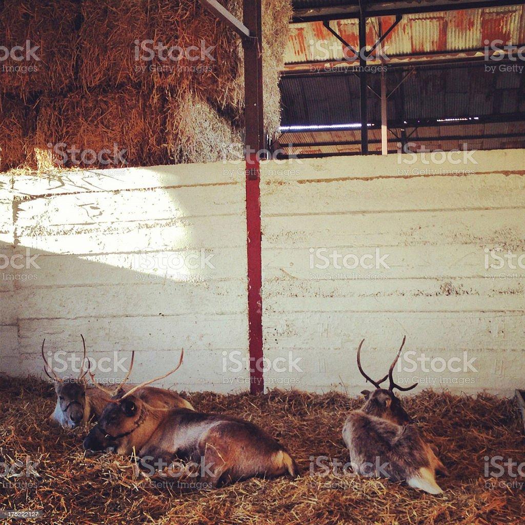 Reindeers resting in Barn royalty-free stock photo