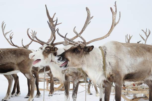 Reindeers.  Winter. Yakutia.