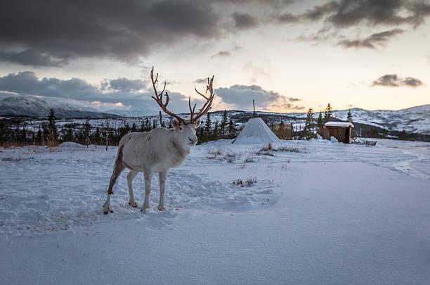 reinder in arctic - rentier stock-fotos und bilder