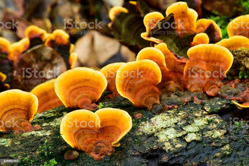 Reishi wild mushroon growing on driftwood, Yellow mushroom in nature stock photo