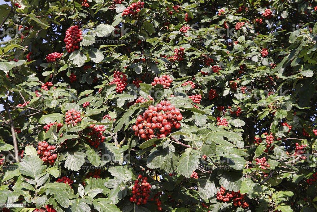 Autumn Leaves Red Berries Whitebeam Sorbus Aria Stock Photo