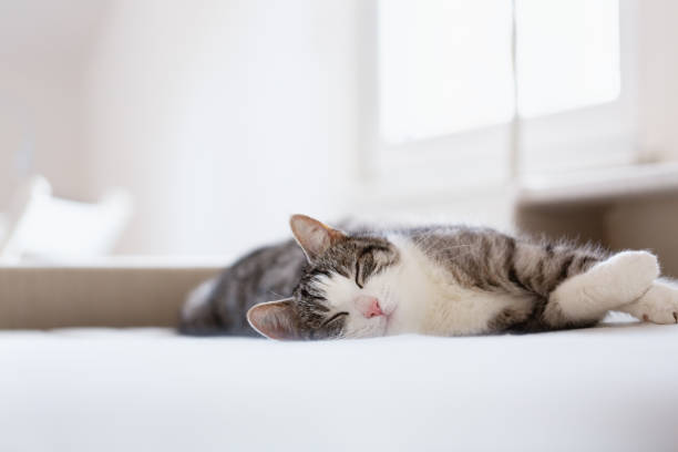 relaxed beautiful tabby cat lying on bed stock photo
