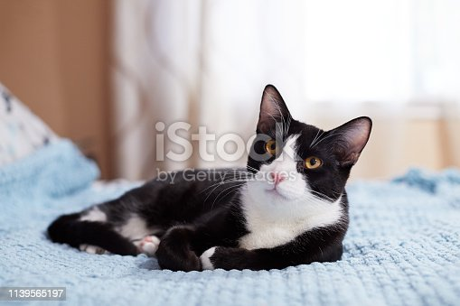 A black and white tuxedo cat with yellow eyes is relaxing on a blue blanket