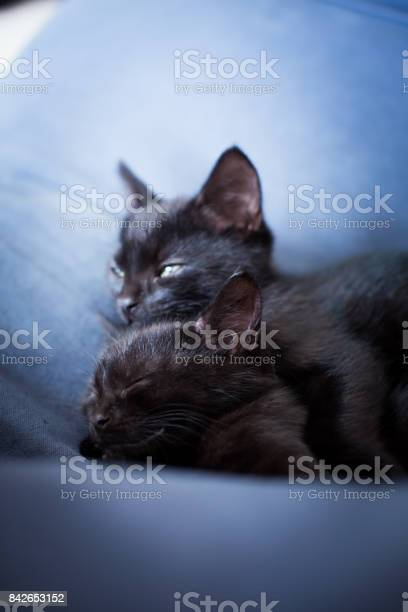 Relaxed black kittens picture id842653152?b=1&k=6&m=842653152&s=612x612&h=hdudxvjrhq7y qbjvsxvyrf4ny379wjaurzh0a szds=