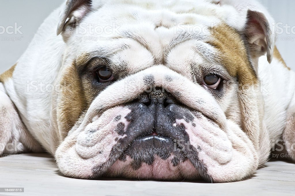 Relaxed British Bulldog With Houndog Expression stock photo