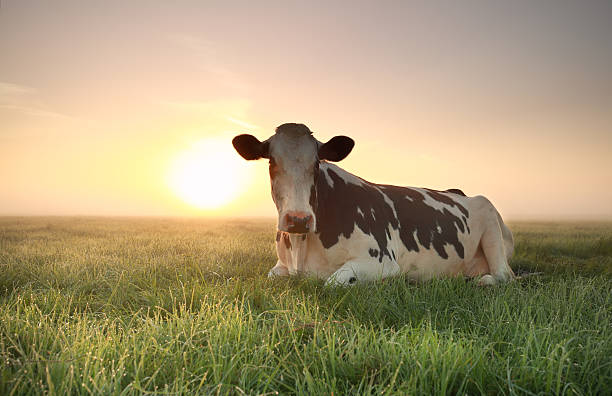 relaxed cow on pasture at sunrise foto
