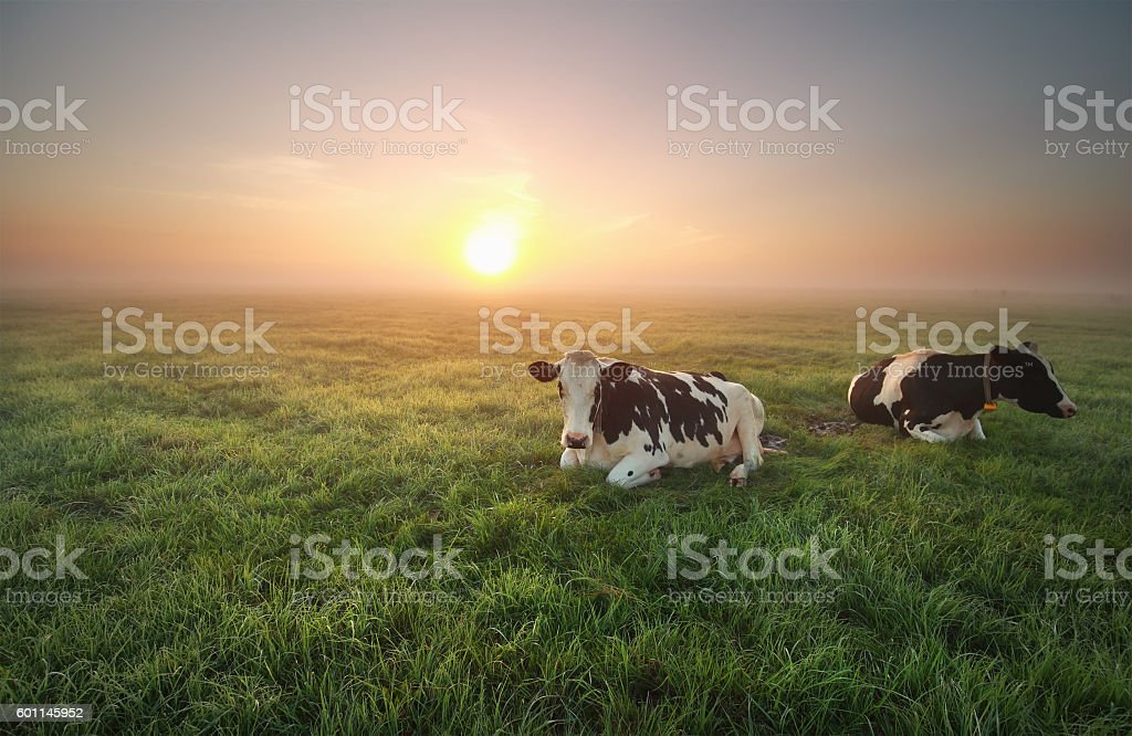 relaxed cows on pasture at sunrise stock photo