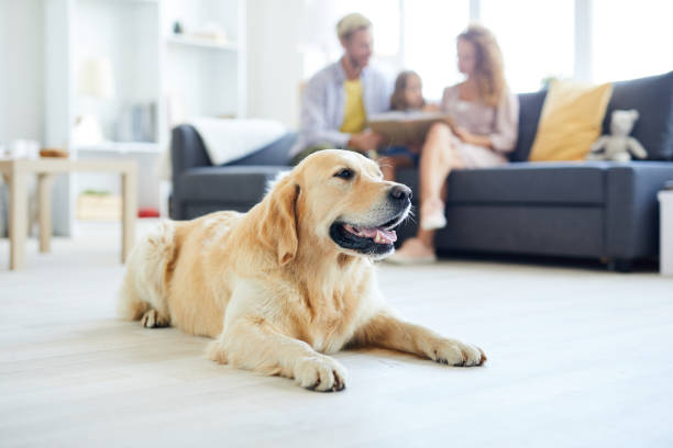 Relaxed dog Restful home pet lying on the floor of living-room on background of family relaxing on sofa retriever stock pictures, royalty-free photos & images