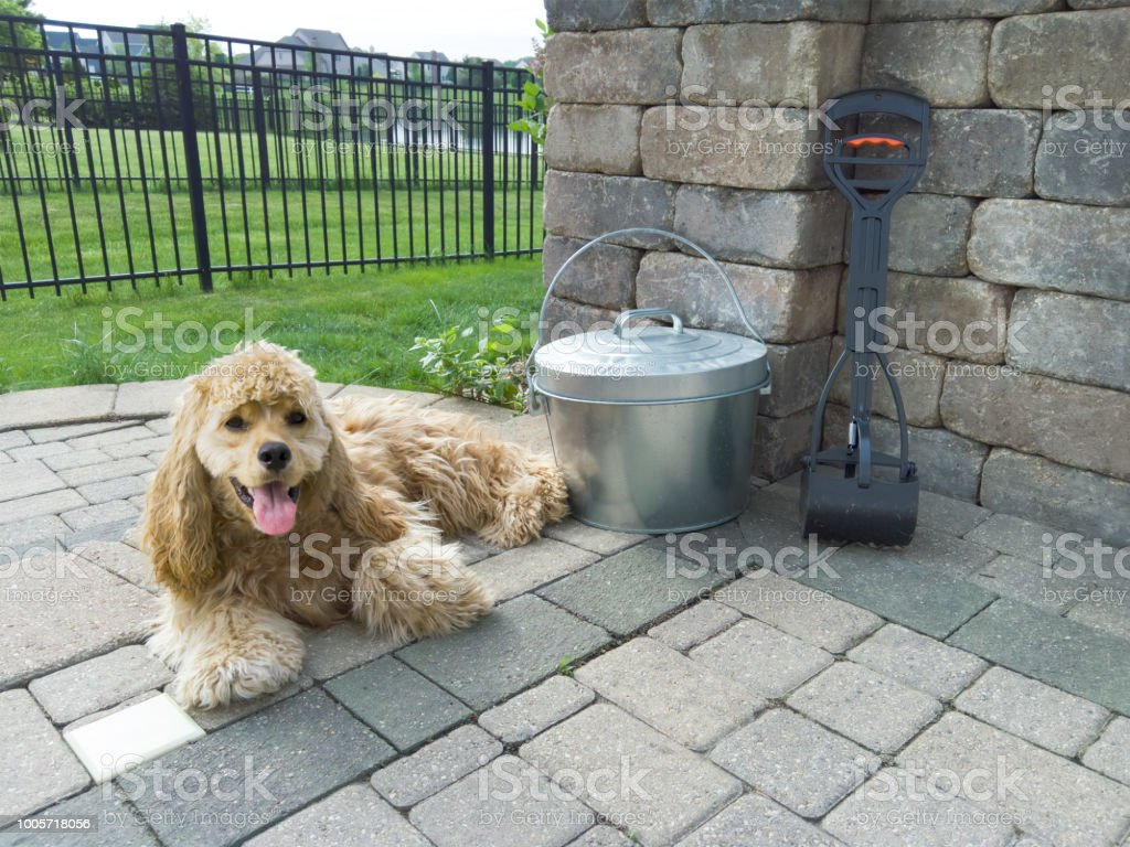 Relaxed golden American Cocker Spaniel stock photo