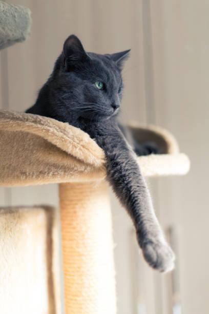 entspannte graue katze - karthäuserkatze stock-fotos und bilder