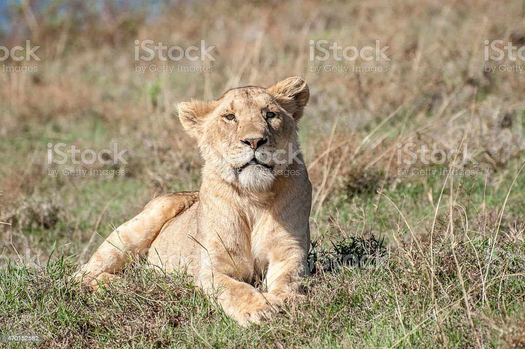 Relaxed lioness lying in short grass. stock photo
