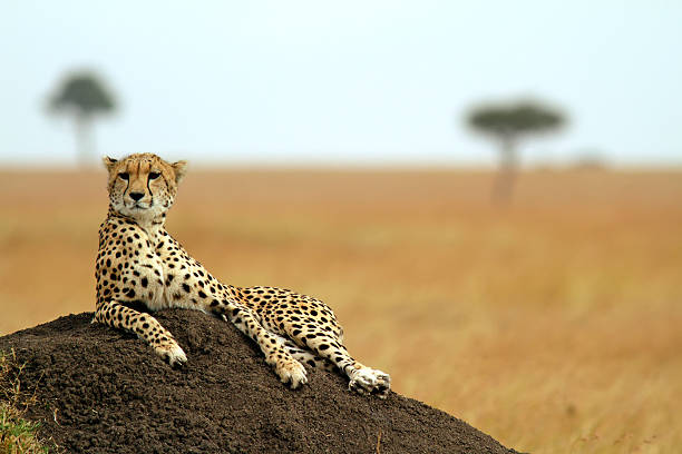 A relaxed Masai Mara cheetah lay on some soil A cheetah (Acinonyx jubatus) on the Masai Mara National Reserve safari in southwestern Kenya. masai mara national reserve stock pictures, royalty-free photos & images