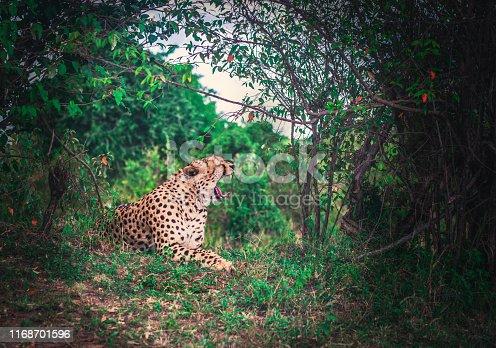 A relaxed Masai Mara cheetah