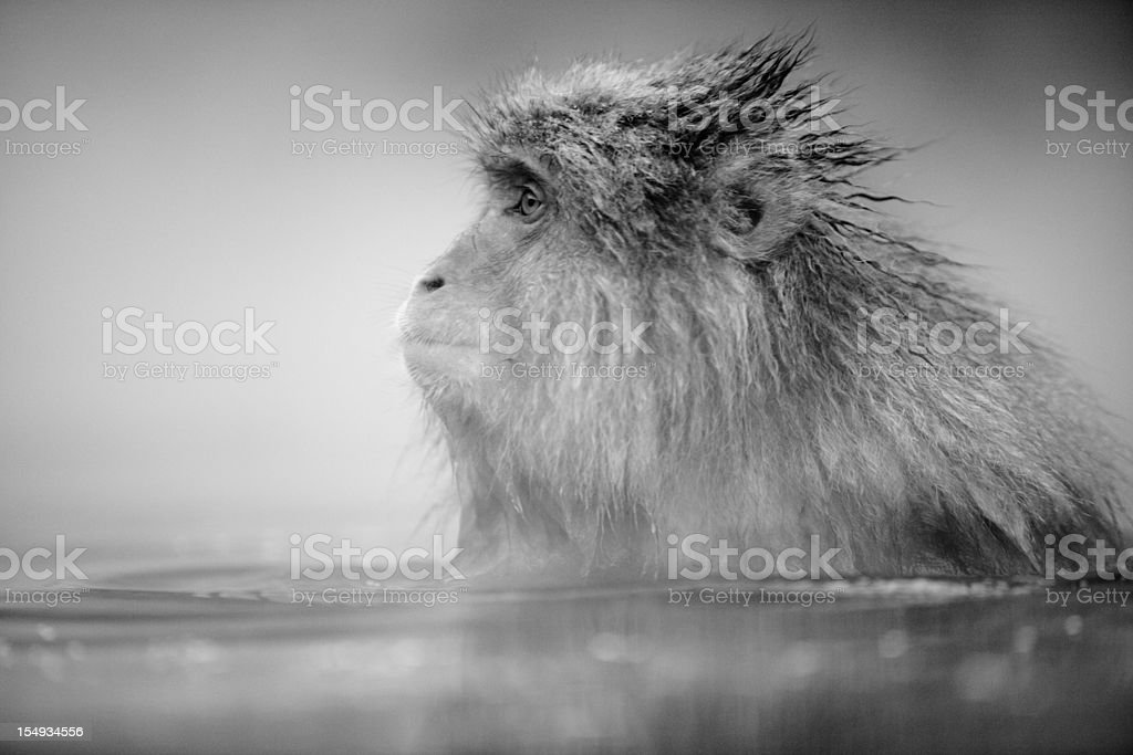 Relaxed monkey in hotsprings royalty-free stock photo