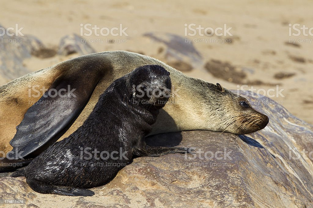 Relaxed Mother and Pup Fur Seals stock photo