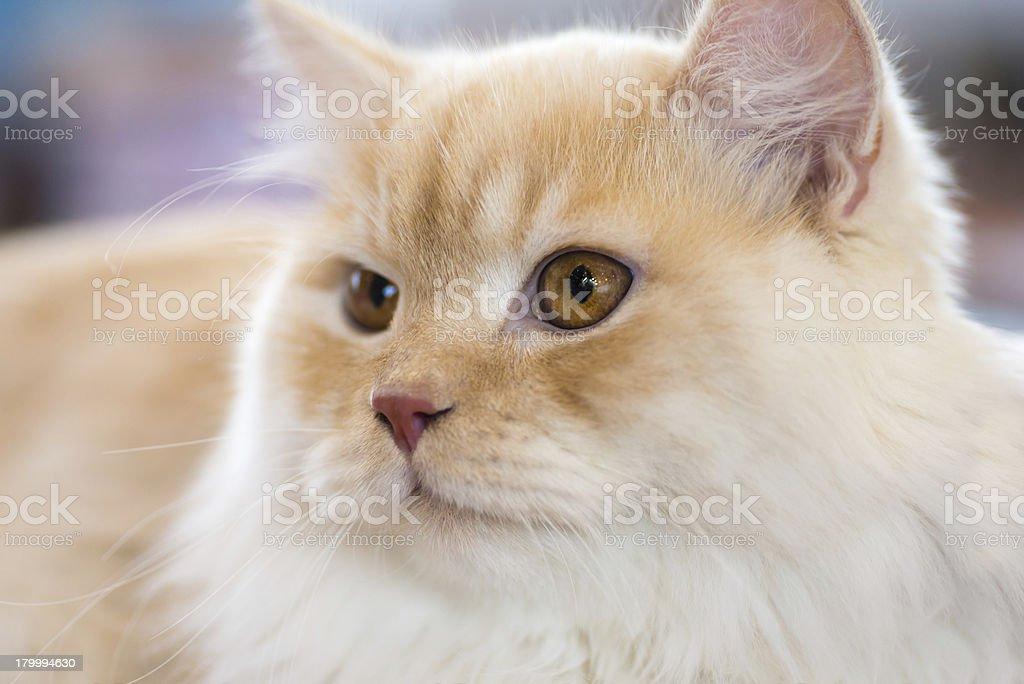 Relaxed orange-white cat stock photo