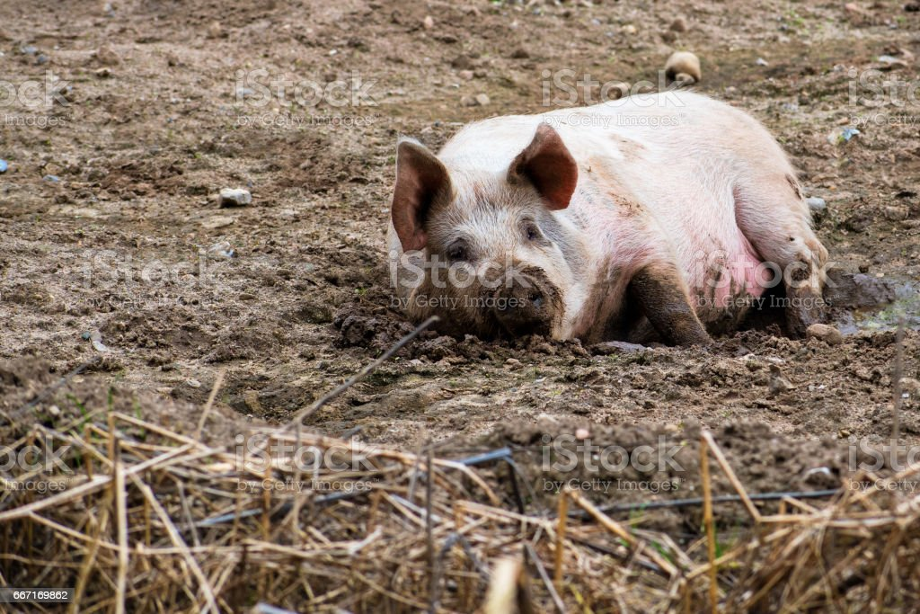 Relaxed pig enjoys the mud outside, free range animal farming stok fotoğrafı