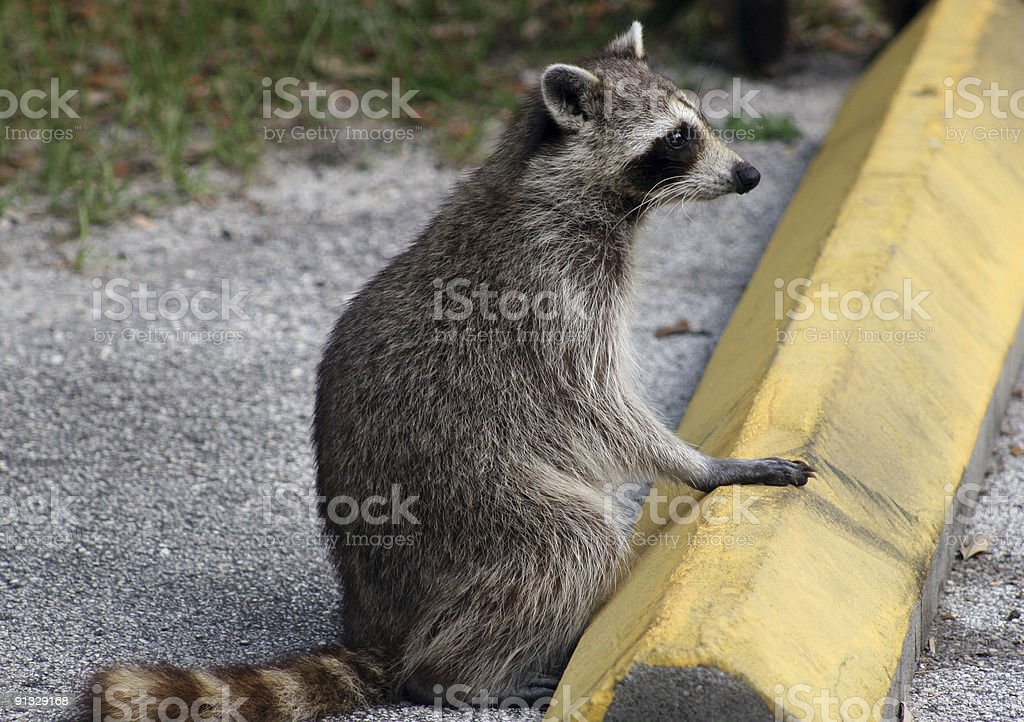 Relaxed racoon royalty-free stock photo