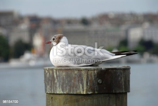 Relaxed Seagull Stock Photo & More Pictures of Animal