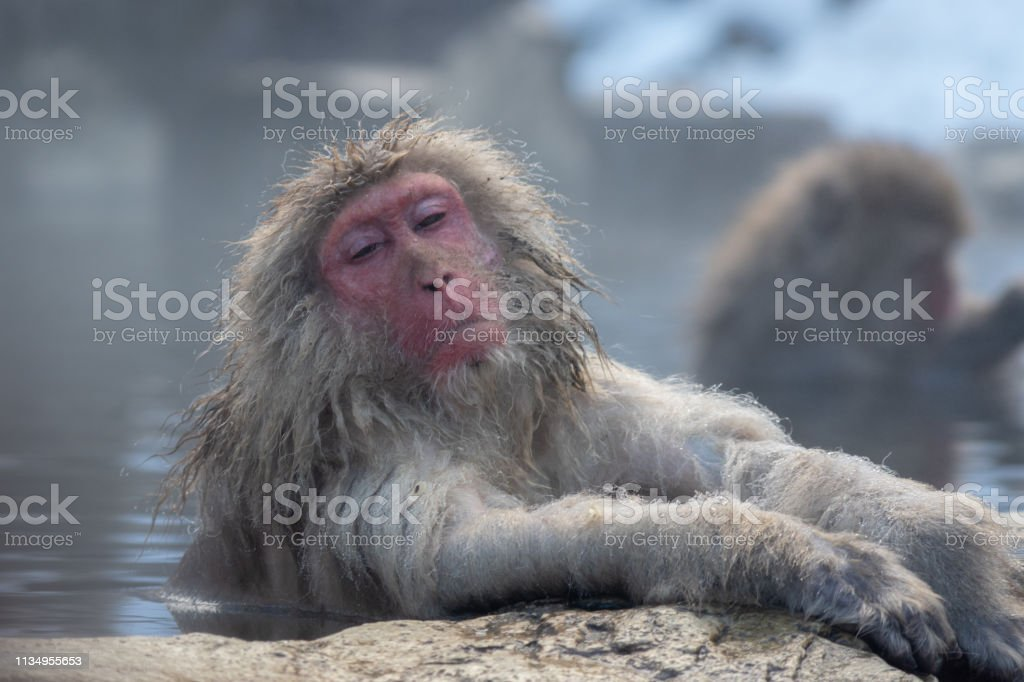 Relaxed Snow Monkey stock photo