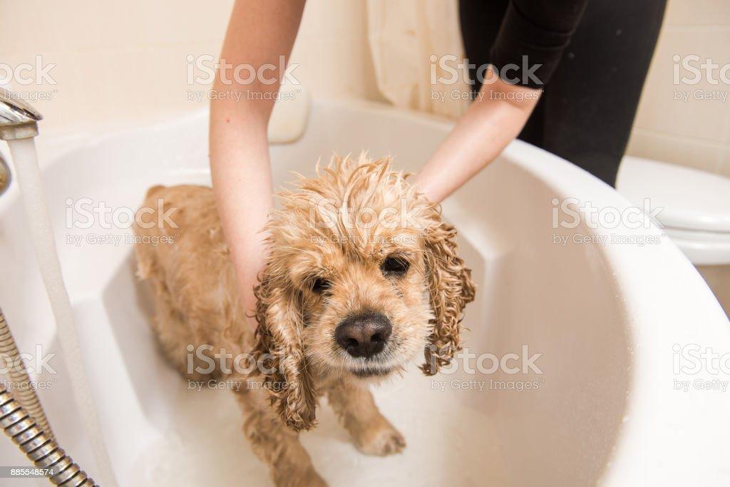 Relaxing bath foam to american cocker spaniel stock photo