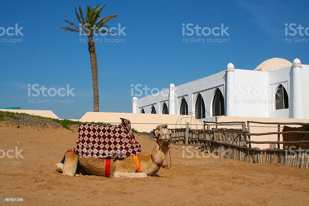 Relaxing Camel on the beach in Agadir, Morocco​​​ foto
