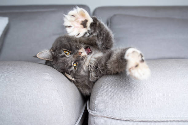 entspannende katze - grau getigerte katzen stock-fotos und bilder