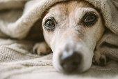 istock Relaxing close up face face portrait. Cute dog covered with beige blanket. 1132975307