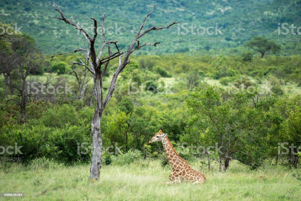 Relaxing Giraffe royalty-free stock photo