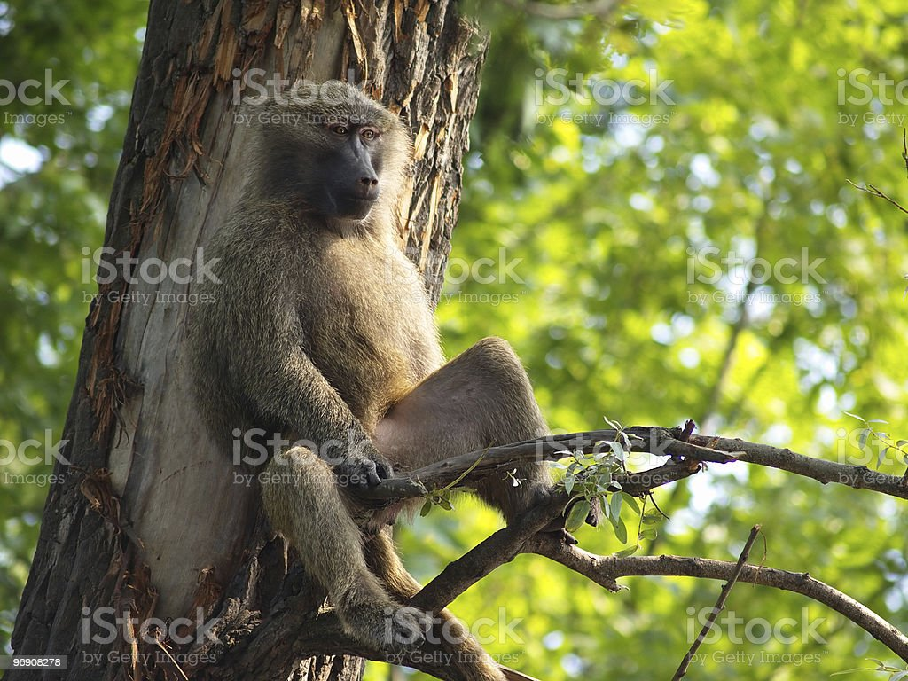 Relaxing monkey royalty-free stock photo